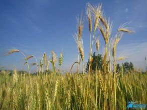 麦子教会和稗子教会